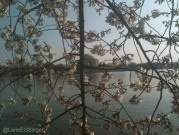 Jefferson Memorial through the Cherry Blossoms