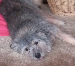 17 year old Schmoopie is a gray dog laying down on tan carpet