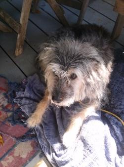 17 year old Schmoopie laying on blue blanket